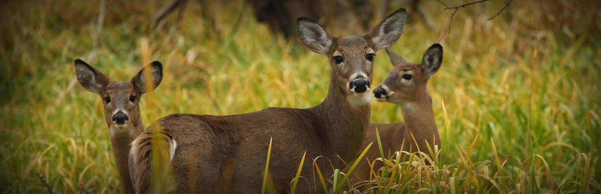 Does of Backwoods Whitetails